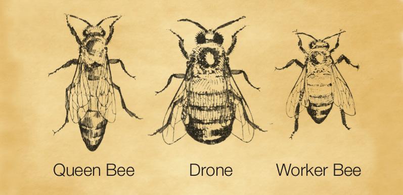 LESSON 4: Queen, Worker and Drones Behavior