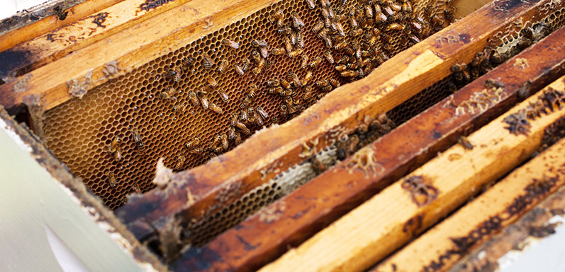 Buzz Kill: bees are dying and why it matters to you (SCIENCE DAILY)