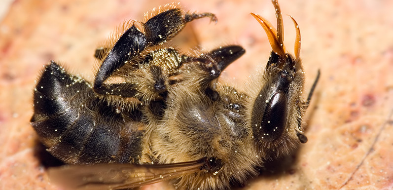 Quartz: Scientists discover what's killing the bees and it's worse than you thought