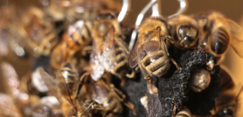 Could U.S. Honey Bees be Dying off Because of Inbreeding?