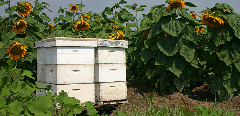 Reasons Why Anyone Should Try Out Beekeeping