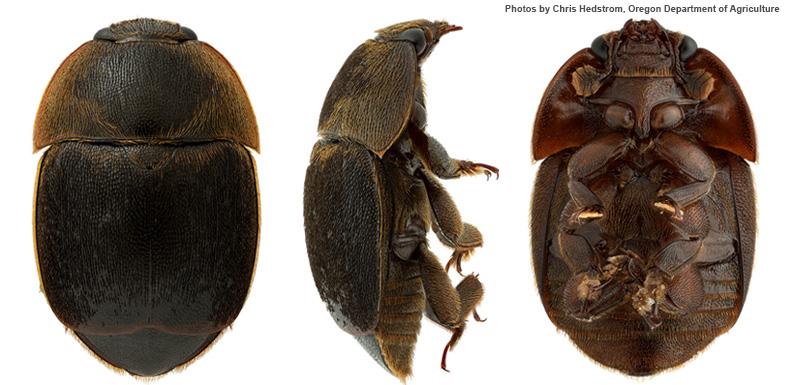 Small Hive Beetle Warning
