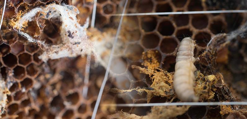 Top 3 ways to prevent wax moths