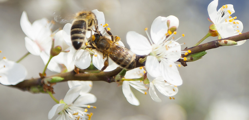 Can Eating Organic Help Save the Bee?