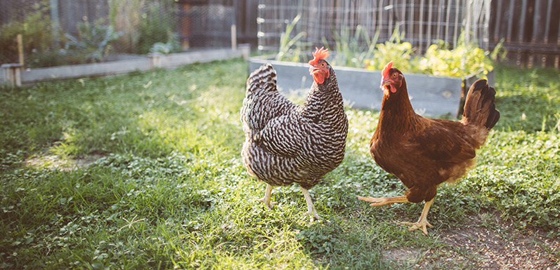 Can Bees and Backyard Chickens Coexist?