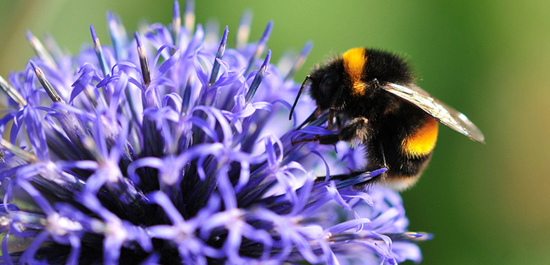 Do Honey Bees compete with Native Bees?