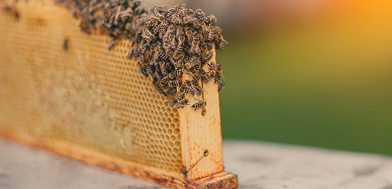 For bees, Fat is where it's at