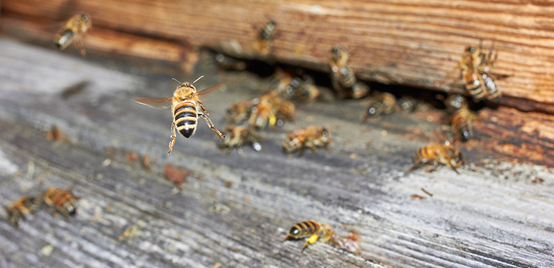 How To Manage Beehives In The Home During Home Renovations