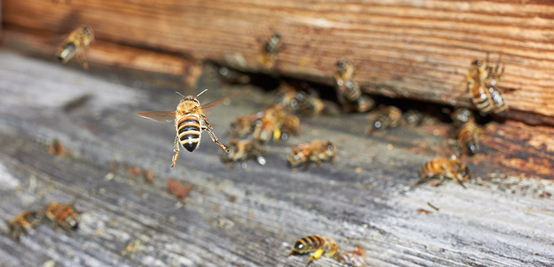 Puerto Rico's hurricane destruction may have doomed the world's honey bees?