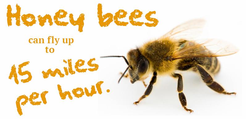 Giving Bees Sugar Water: Healthy or Hazardous?
