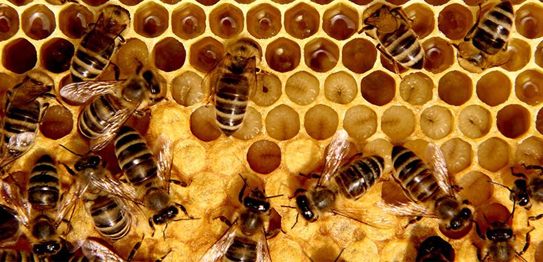 Entomology Today: Hygienic Brood Behavior Keeps the Hive Alive